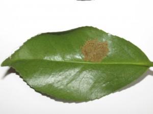 チャドクガ-幼虫集団