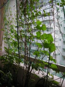 我が家の緑のカーテン2015 (1)