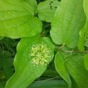 シオデの花